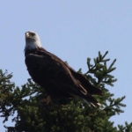 Leader of the skies, Bald Eagle